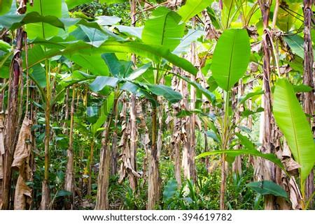 Wild banana tree plantation in Thailand, from virgin water - stock photo