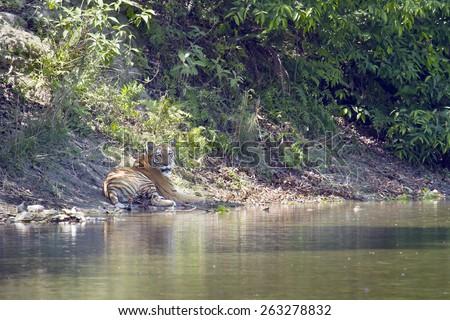 Wild Bengal tiger in Bardia, Nepal ; specie Panthera tigris - stock photo