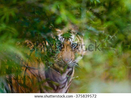 Wild Bengal tiger looks out from the bushes in the jungle. India. Bandhavgarh National Park. Madhya Pradesh. An excellent illustration. - stock photo