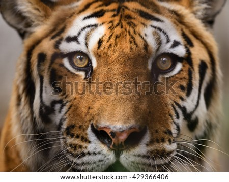 Wild Bengal Tiger (Panthera Tigris Tigris) face and eyes closeup in ranthambore national park, India. - stock photo