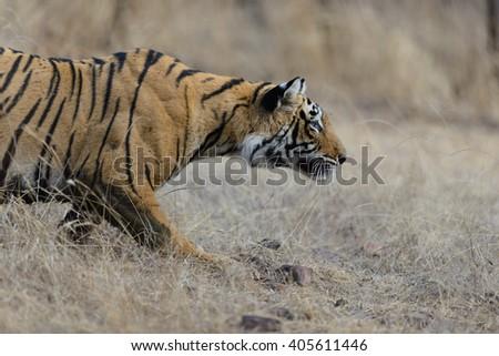 Wild Bengal Tiger (Panthera Tigris Tigris) hiding to catch her Prey, Ranthambore national park, India - stock photo