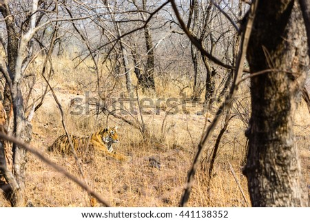 Wild Bengal Tiger (Panthera Tigris Tigris) hiding to catch her Prey, Ranthambore national park, India