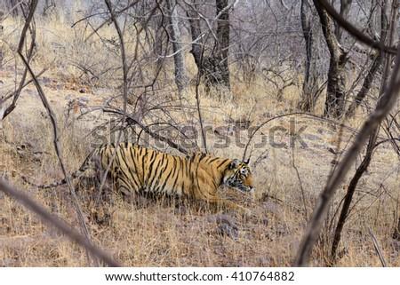 Wild Bengal Tiger (Panthera Tigris Tigris) in their natural habitat. - stock photo
