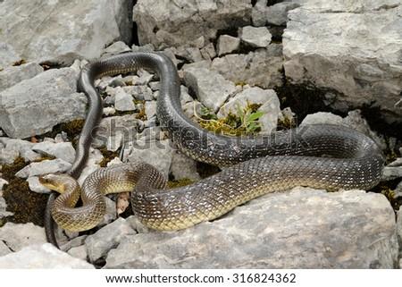 Wild big Aesculapian snake (Zamenis longissimus) - stock photo