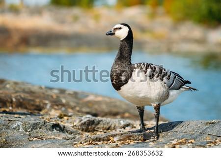 Wild Bird Barnacle Goose Branta Leucopsis On Rock In Finland. - stock photo