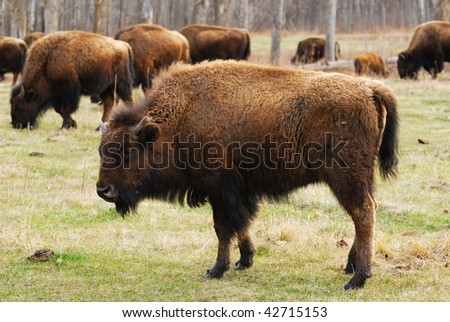 Wild bison herd wandering in the elk island national park in spring, alberta, canada - stock photo