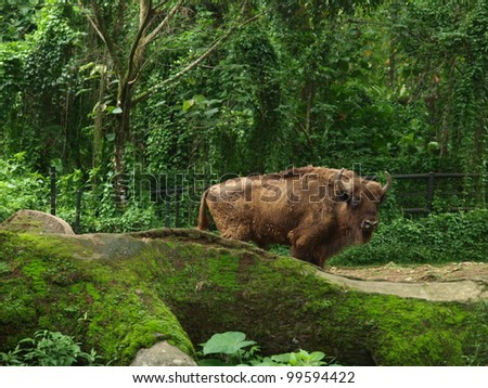 wild bison in safari park - stock photo