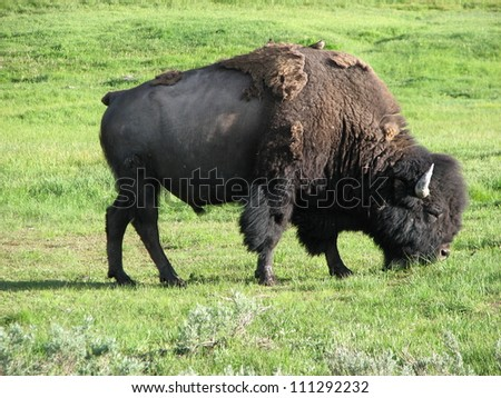 Wild Bison in Yellowstone National Park at Summer