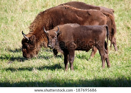 wild bison on the field - stock photo