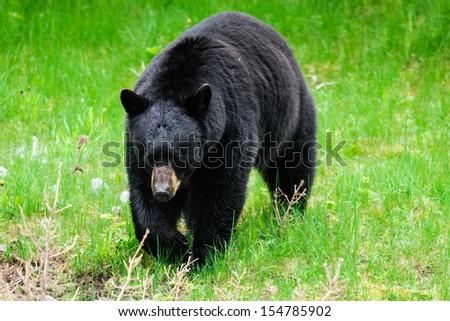 Wild Black Bear feeding on dandelions, Jasper National Park Alberta Canada - stock photo