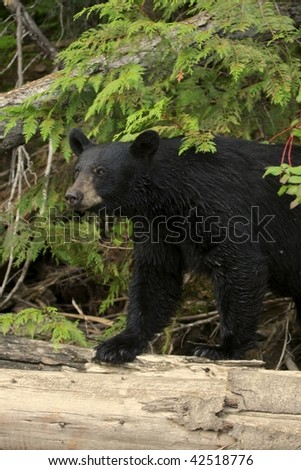 Wild black bear in Canada. - stock photo