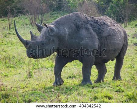 wild black rhinoceros or hook-lipped rhinoceros  surrounded by grass(Diceros Bicornis) in Masai Mara Kenya - stock photo