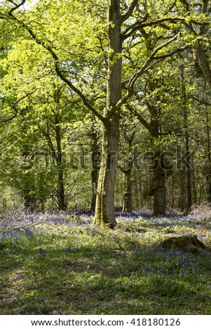 Wild Bluebells. A wild forest has a carpet of bluebells running through it. Spring sunshine is hitting the tops of the trees and dappled light is coming through to the flowers.