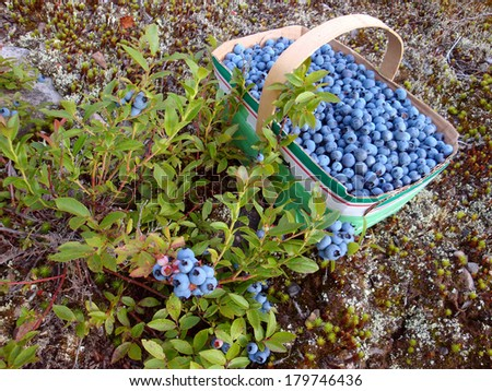 wild blueberries - stock photo