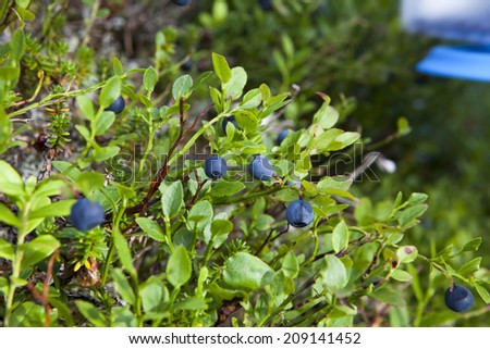Wild blueberries growing among green leafes. - stock photo