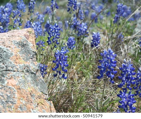 wild bluebonnets - stock photo