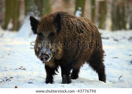 wild boar - stock photo