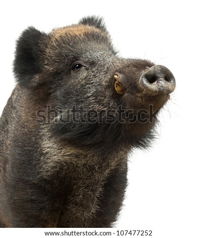 Wild boar, also wild pig, Sus scrofa, 15 years old, close up against white background - stock photo