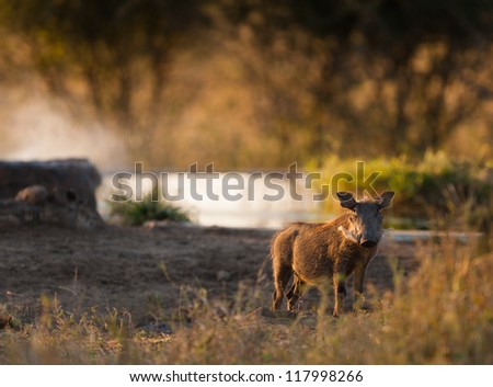 Wild boar at watering hole, Kruger National Park - stock photo