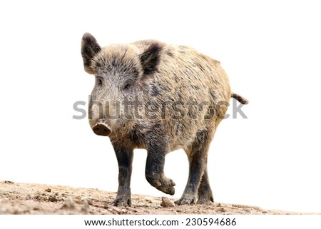 wild boar coming towards the camera ( Sus scrofa ), isolation over white background - stock photo