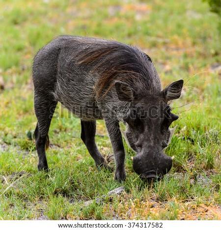 Wild boar eats grass in the Moremi Game Reserve (Okavango River Delta), National Park, Botswana - stock photo
