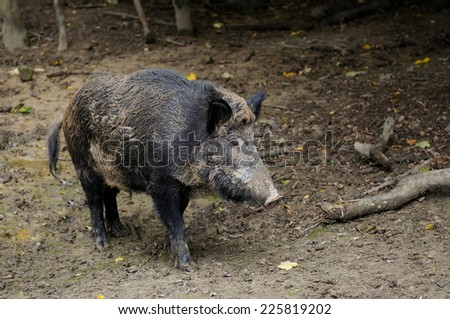 Wild boar in autumn forest. - stock photo