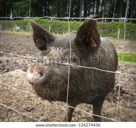 Wild boar in English pigsty. - stock photo