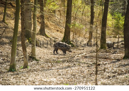 Wild boar in forest - stock photo