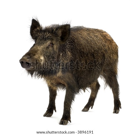 wild boar in front of a white background - stock photo