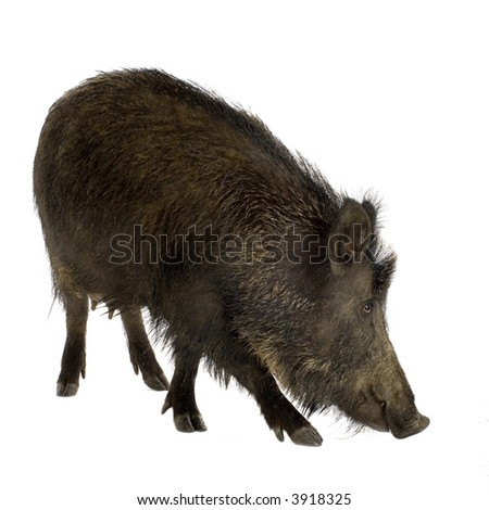 wild boar in front of a white background