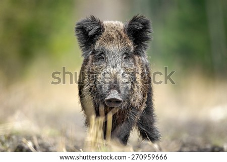 Wild Boar in natural environment. - stock photo