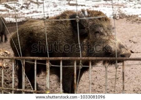Wild boar in the aviary