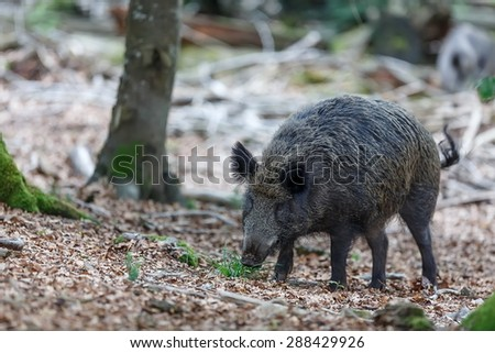 Wild boar looking for food - stock photo