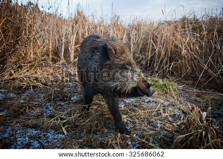 Wild boar on agricultural land (Sus scrofa)
