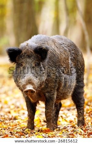 Wild boar (pig) - stock photo