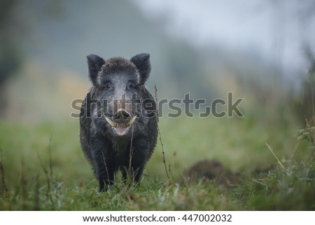 Wild boar showing his tusks, early morning in Germany