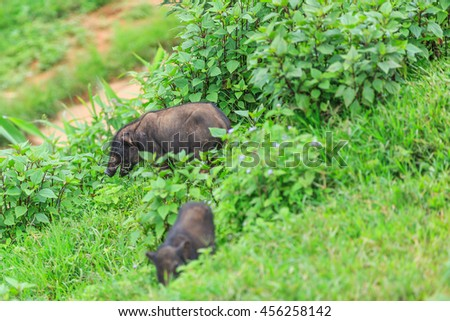 wild boar sniffing the grass in search of food