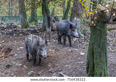 Wild boar wild couple in the forest