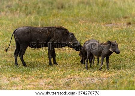 Wild boars flock in the Moremi Game Reserve (Okavango River Delta), National Park, Botswana - stock photo