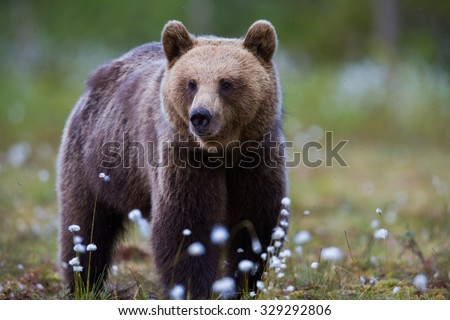 Wild Brown bear - stock photo