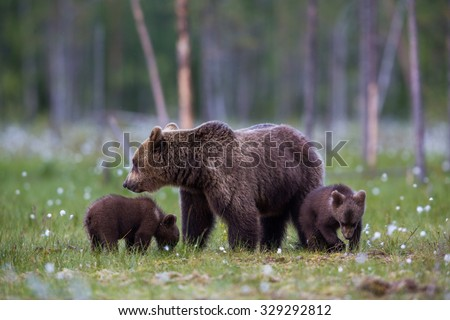 Wild Brown bear family in grasslands during spring - stock photo