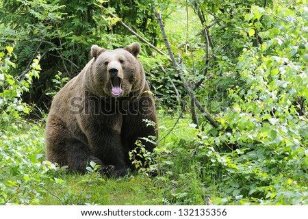 Wild brown bear in  forest - stock photo