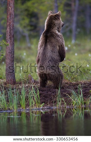 Wild Brown bear standing to search and look - stock photo