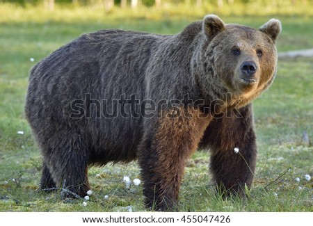 Wild brown bear (Ursus arctos) on the meadow of the forest in summer. Close up portrait . Natural green background.