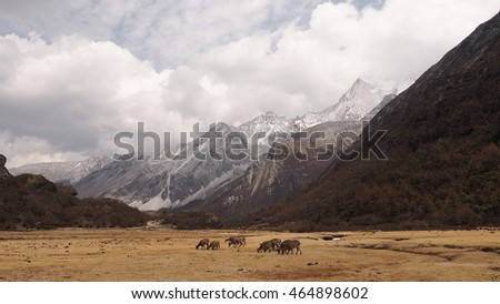 wild brown deers stay on yellow field around snow mountain with cloudy yading, china