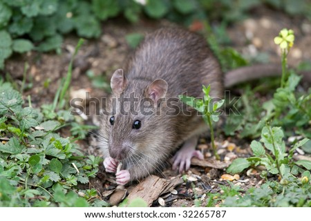 Wild Brown Rat eating seeds, and grain - stock photo
