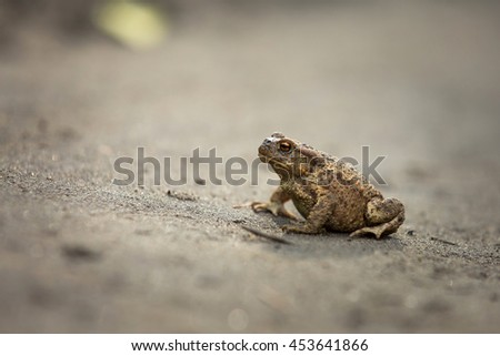 Wild brown toad walking on sand. Small amphibian animal portrait.