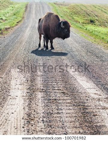 Wild buffalo blocking the road - stock photo