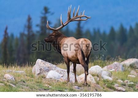 Wild Bull Elk Jasper National Park Alberta Canada - stock photo