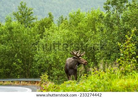 Wild Bull Moose - stock photo